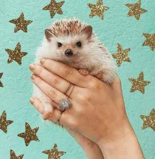 hands holding tiny hedgehog