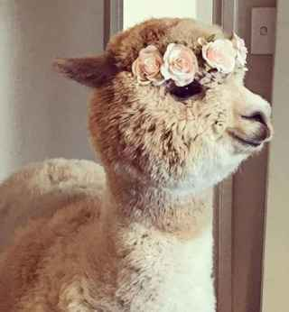 alpaca with flower crown on head