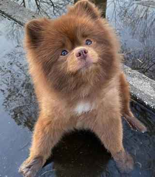 brown pomeranian dog standing in puddle