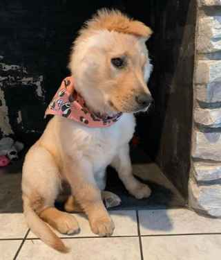 golden retriever puppy with short mohawk